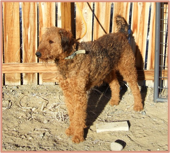 Tonka, large red Airedale