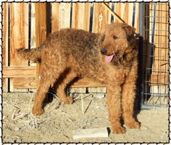 Rare red Airedale