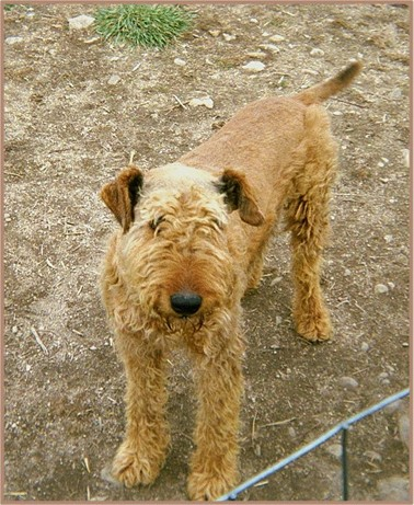 Jake, red Airedale