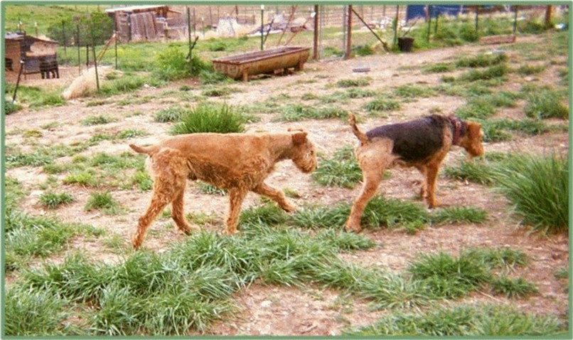 Jake, rare Red Airedale and Fancy Girl
