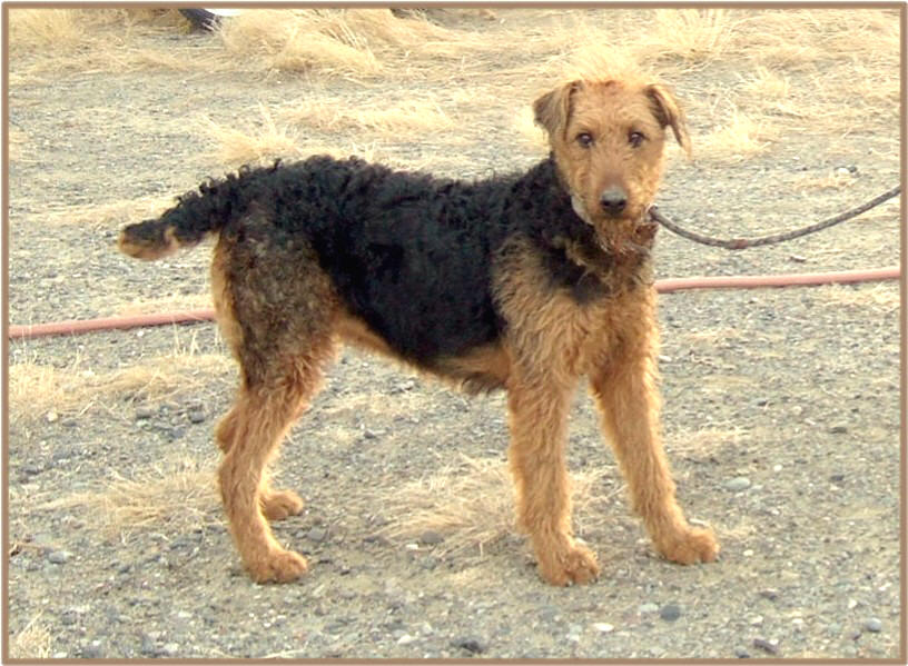 Our Airedale Twinkles at a year