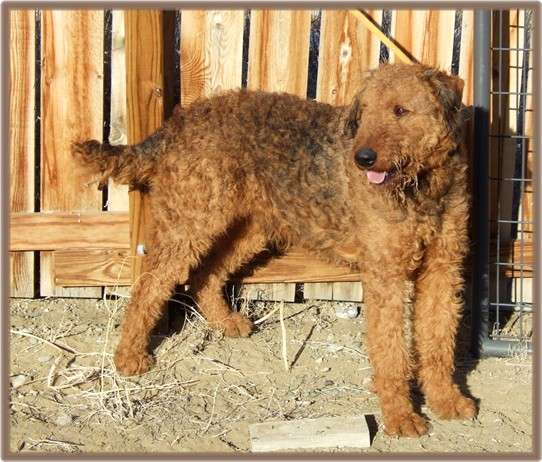 Tonka, large red male Airedale