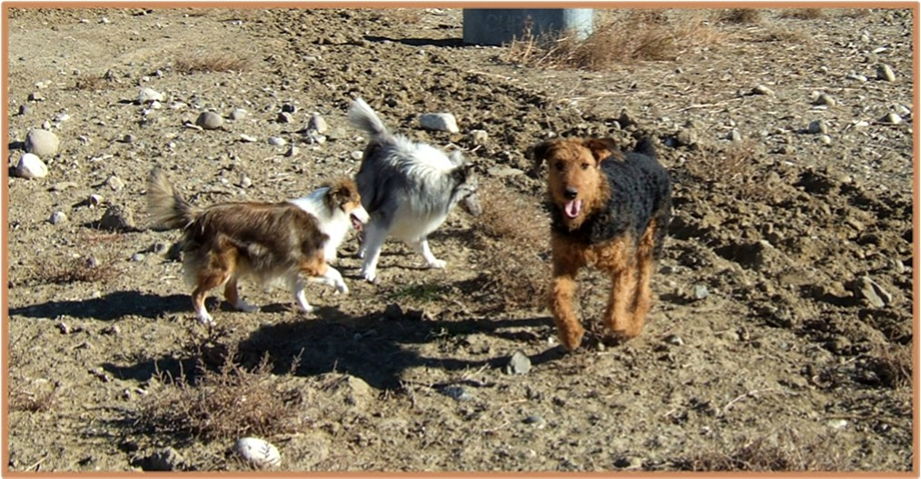 Miley (Airedale) with sheltie pals