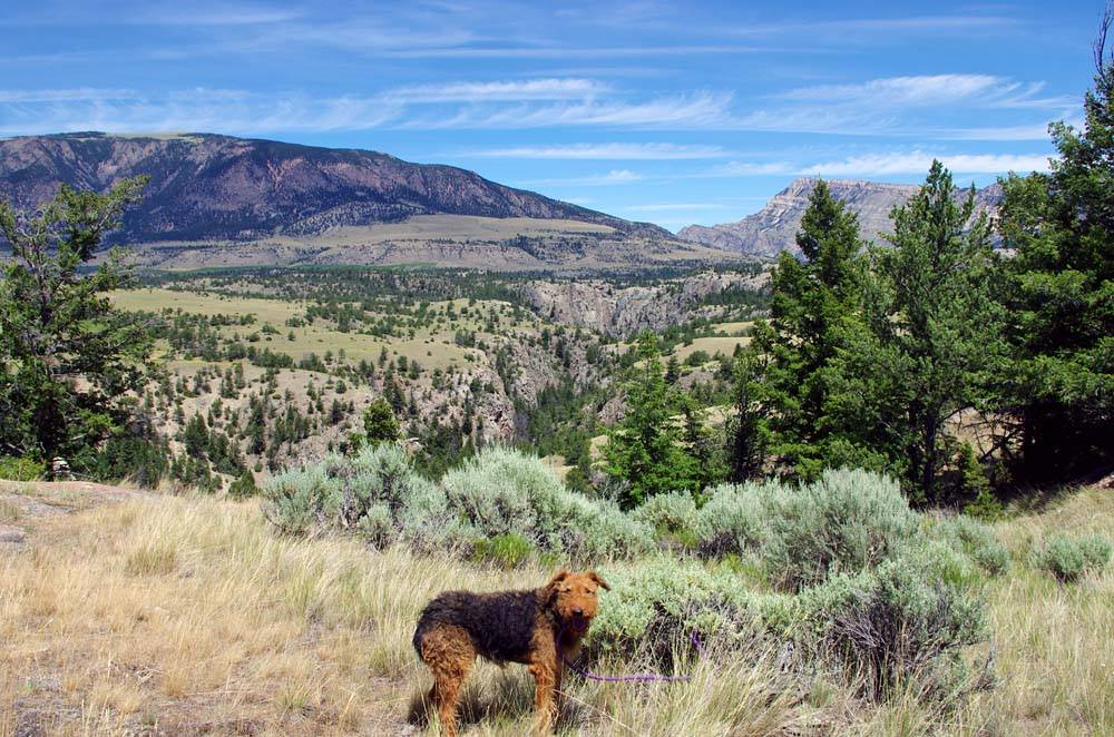 Airedale in Shoshone National Forest