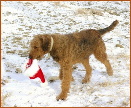 Rare red Airedale playing